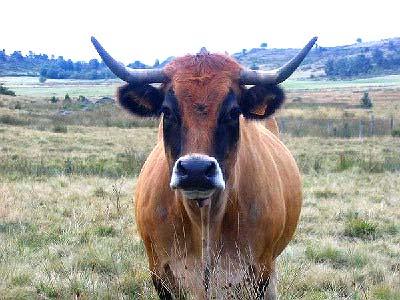 Une vache du pays (race Aubrac)